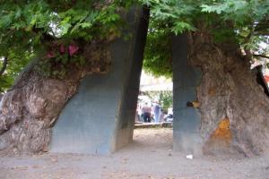 Чинарот – најстарото дрво во Македонија