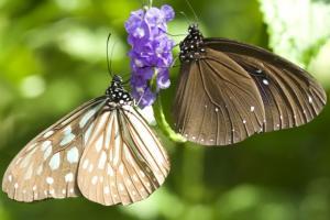 Играта на две пеперутки