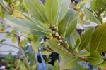 Лаворовите листови се лек за многу болести