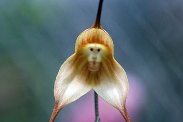 мајмунски оргидеи, majmunski orhidei, orhidei, орхидеи