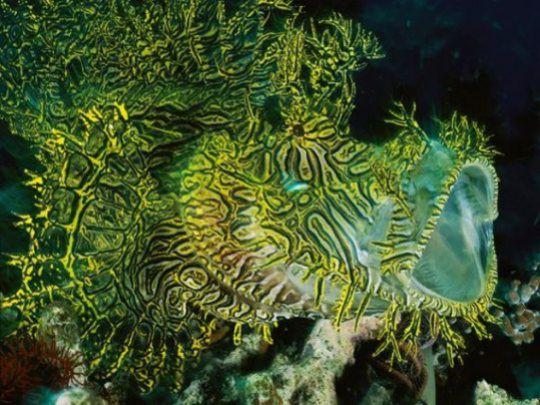 Неверојатни животински камуфлажи, Neverojatni zivotinski kamuflazi, риба шкорпион, riba skorpion