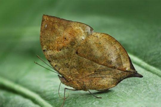 Неверојатни животински камуфлажи, Neverojatni zivotinski kamuflazi, пеперутка, peperutka