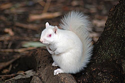 albino ververicka, albino zivotni, албино животни