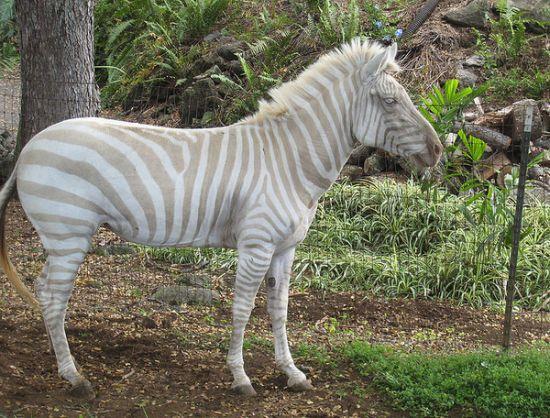 albino zebra, albino zivotni, албино животни