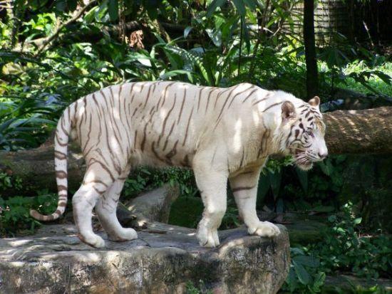 albino tigar, albino zivotni, албино животни