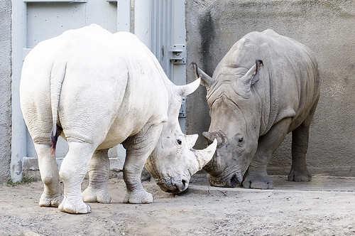 albino nosorog, albino zivotni, албино животни
