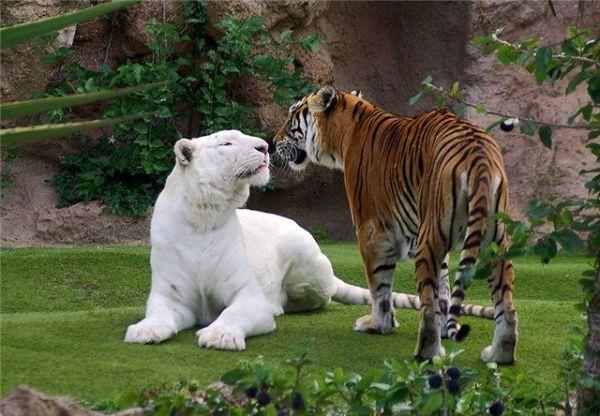 albino lavovi, albino zivotni, албино животни