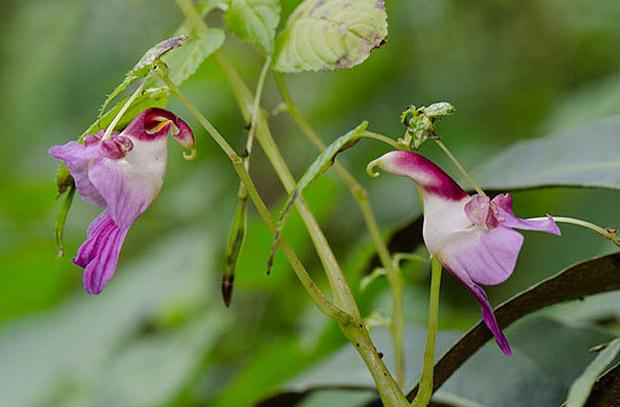 орхидеи со изглед на животни, орхидеи, животни, orhidei so izgled na zivotni, orhidei, zivotni