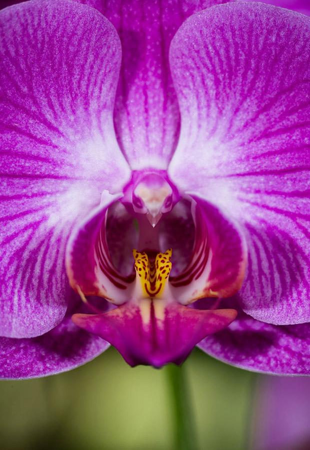 Orhidei so izgled na zivotni, orhidei, zivotni, орхидеи со изглед на животни, орхидеи, животни